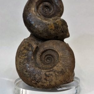 Double Ammonite Fossil