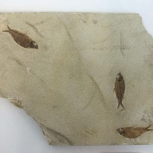 Fish Fossil Plate