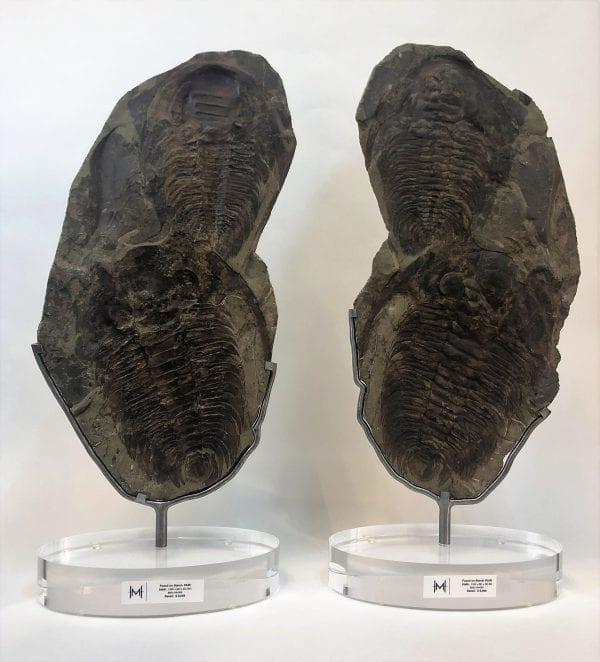 Trilobite Fossil Pair